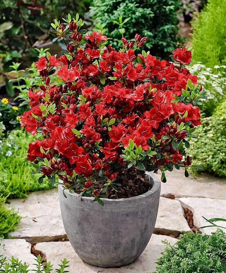 azalee im topf pflanze für den japanischen garten #garden #ideas ...