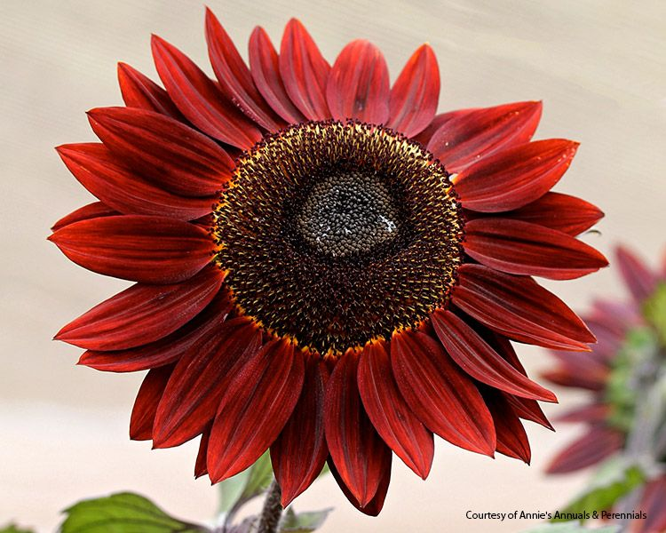7 musthave sunflowers to grow in your garden is part of Red sunflowers, Harvesting sunflower seeds, Garden, Red petals, Annual flowers, Sunflower - Add some cheer to your garden with a few of these musthave sunflowers in a range of sizes from front of the border to back and containers, too!