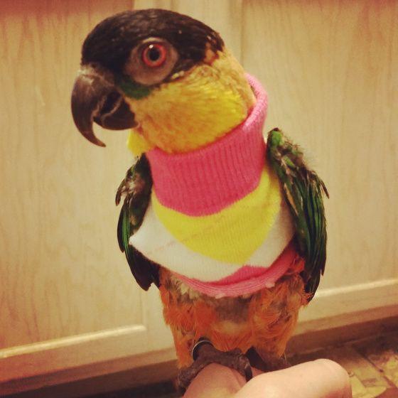 Diy Bird Sweater Diy Bird Toys Diy Birds Parrot Perch Diy