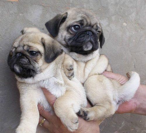Download Chunky Chubby Adorable Dog - 6a02cd29c1a1ac86da878732720948f4  Pic_42728  .jpg