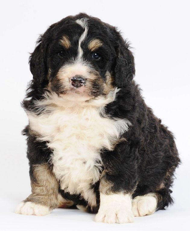 Standard Bernedoodles Bernese Mountain Dog Poodle Cross 50 Lbs Full Grown 21 High Non Shedd Bernese Mountain Dog Poodle Dogs Bernese Mountain Dog