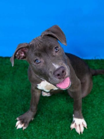 SAFE 8-17-2015 by Pibbles & More Animal Rescue (PMAR) --- Brooklyn Center PINKIE – A1047487 FEMALE, GRAY / WHITE, AM PIT BULL TER MIX, 4 mos STRAY – STRAY WAIT, NO HOLD Reason STRAY Intake condition EXAM REQ Intake Date 08/11/2015