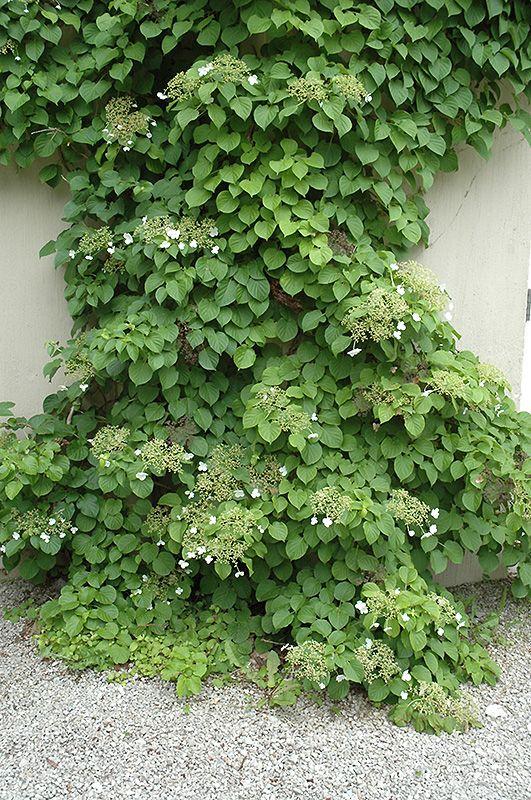 Climbing Hydrangea Hydrangea Anomala Var Petiolaris At