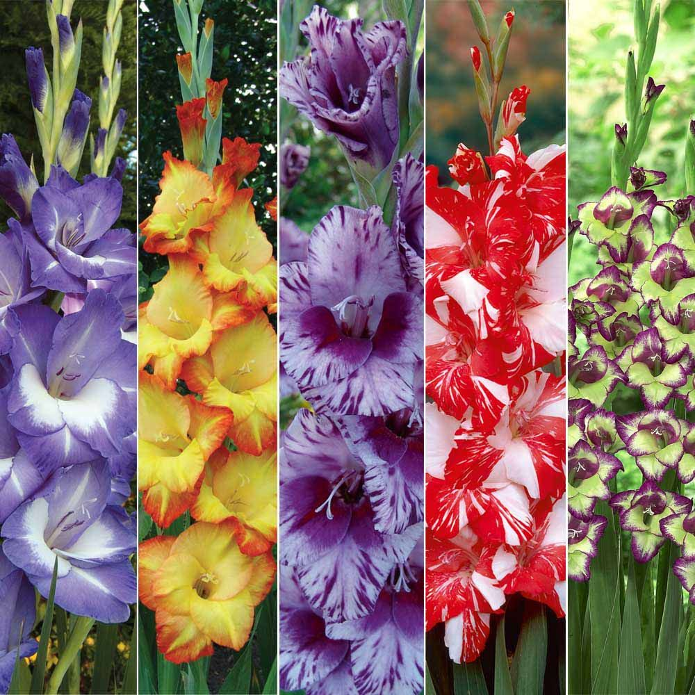 Flower Facts Edible Flowers Gladiolus Who Knew Although