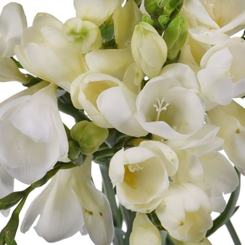 White Freesia Flowers Fiftyflowers Com Freesia Flowers White Wax Flower Flower Care
