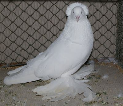 Giant Hungarian House Pigeon