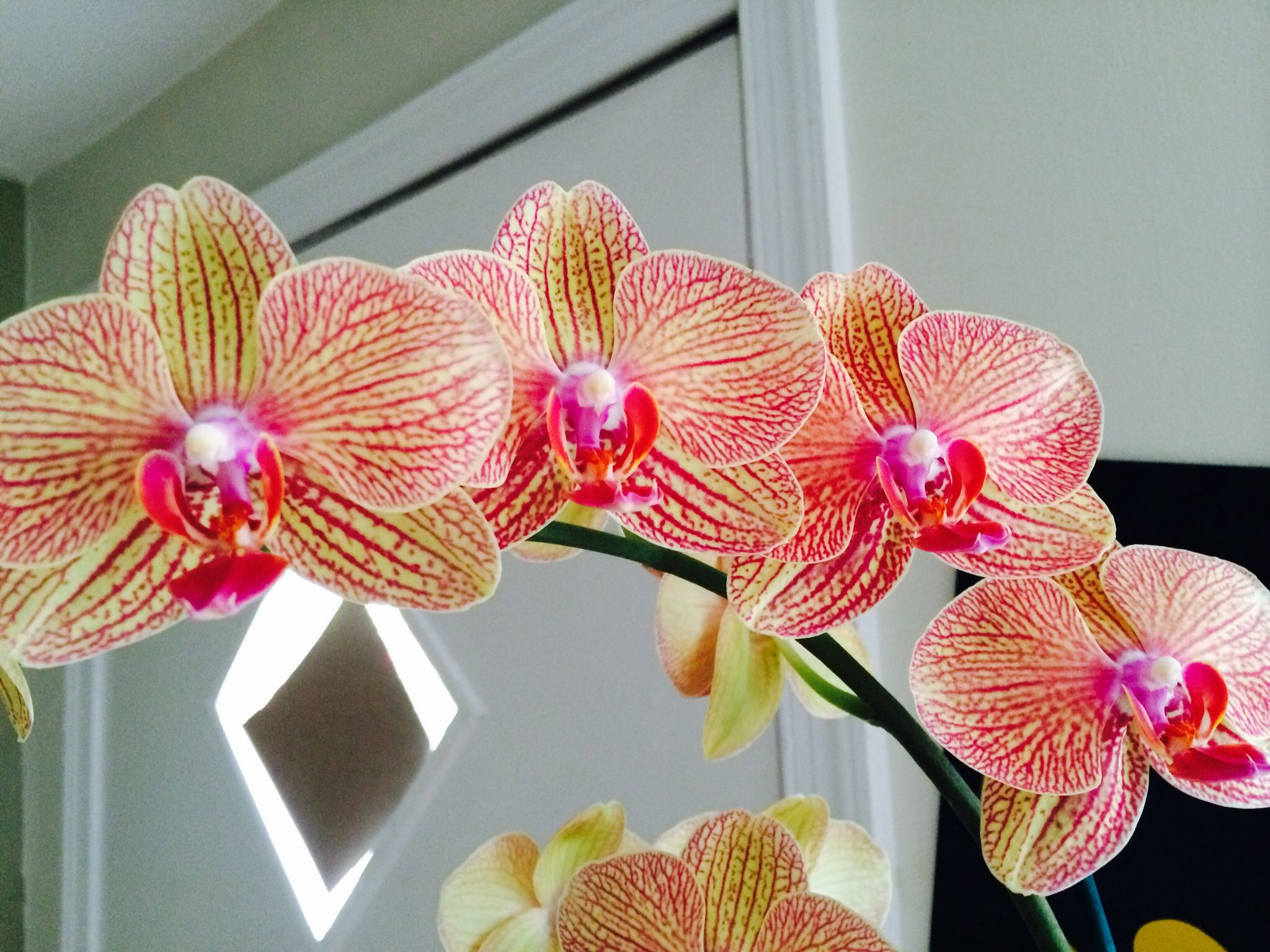 This is my orchid itus a phalaenopsis and it is in full bloom my