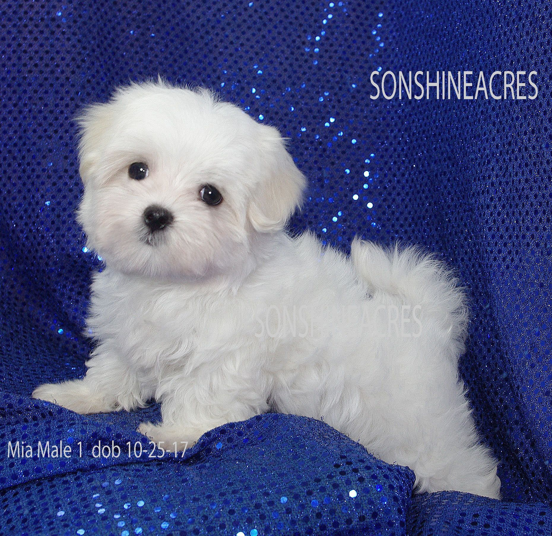 Www Sonshineacres Com Available Php Maltese Maltese Puppy