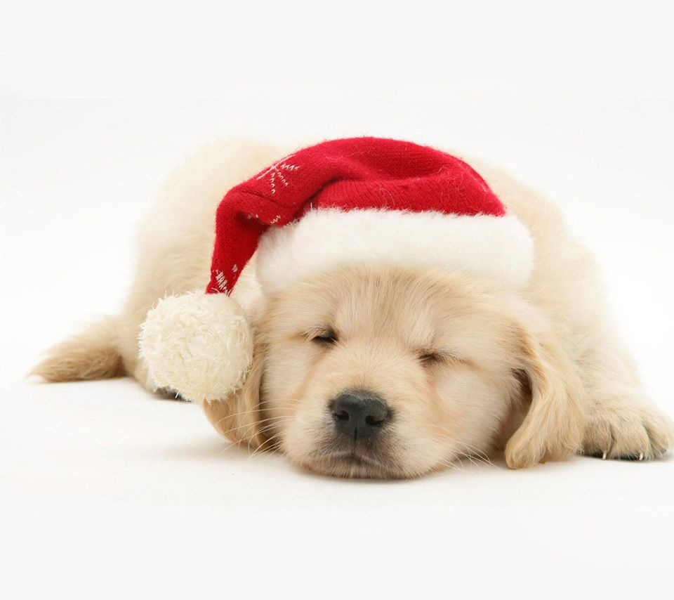 images of cute puppies Cute Christmas Puppies Wallpapers
