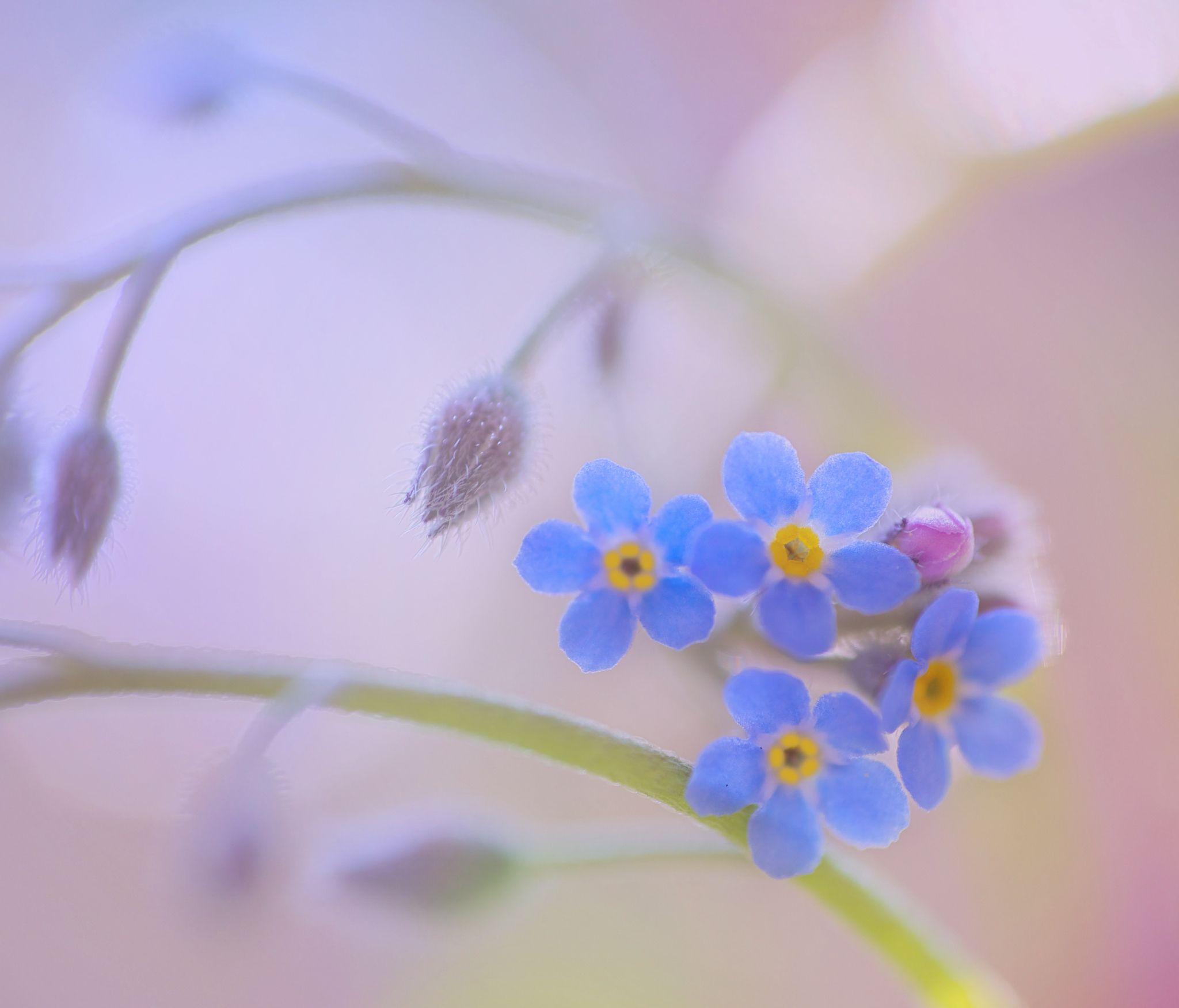 sweet forget me not by Monique Felber on 500px   A passion