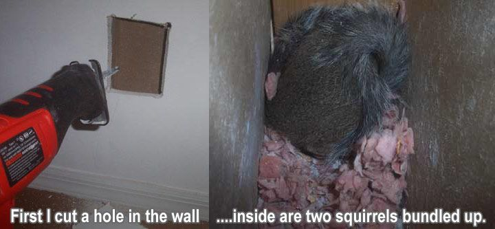 Squirrel In The Wall How To Get Squirrels Out Of The Walls Of The House Wall Squirrel Rat Traps