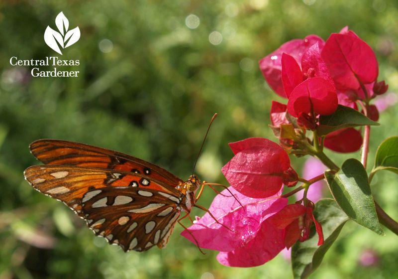 Gulf Fritillary Butterfly On Bougainvillea Austin Texas