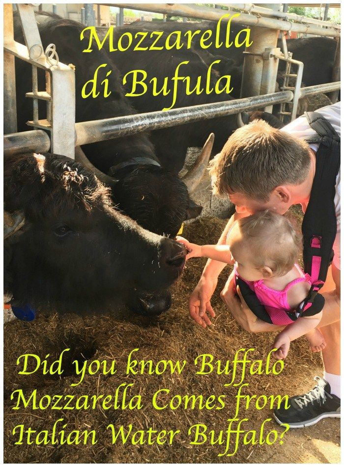 Buffalo Mozzarealla cheese comes from Italian Water Buffalo