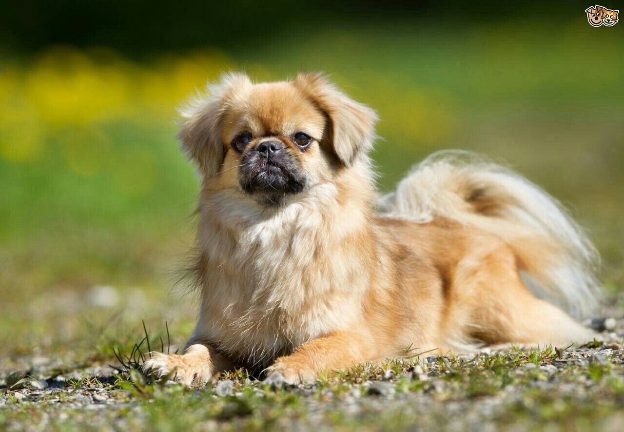 Tibetan Spaniel These Are Really Cute Spaniels You Don T See