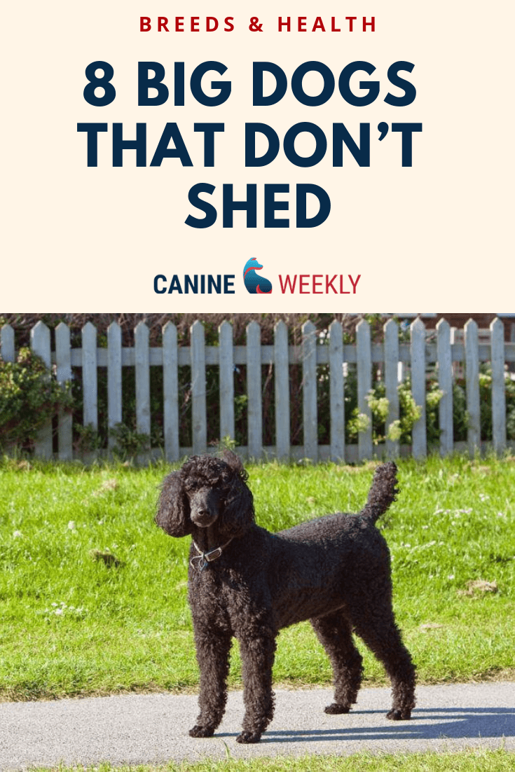 13 Big Dogs That Don T Shed Large Non Shedding Dog Breeds Non Shedding Dog Breeds Big Dogs Dog Breeds