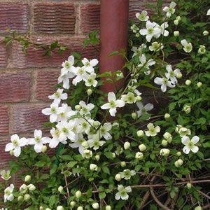 clematis montana alba 1 plants for backyard pinterest. Black Bedroom Furniture Sets. Home Design Ideas