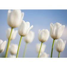 Afbeeldingsresultaat voor tulp harmonie