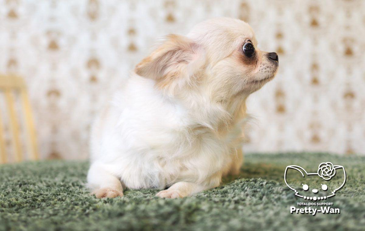 Chihuahua Overflow Board おしゃれまとめの人気アイデア Pinterest Karen Gilloon チワワの子犬 チワワ おかしな動物