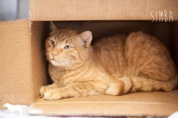 Simba A17973220 2 Years Old Male Medium Orange Neutered Sweet This Kitty Is Available At The Pennsylvania Spca Located At 350 E Animal Rescue Foster To Adopt Cats