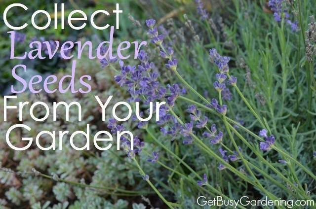 Collect Lavender Seeds From Your Garden | GetBusyGardening.com