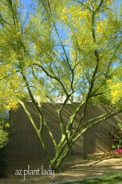 Palo verde tree i love the green bark this tree grows fast and can palo verde tree i love the green bark this tree grows fast and can grow up to 30 40 feet tall mightylinksfo