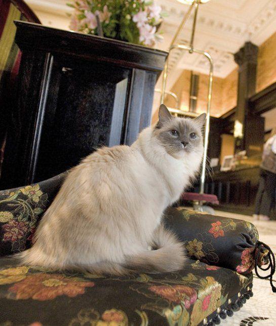 10 Ragdoll Cat Facts Mom Me Ragdoll Cat Cat Facts Cats