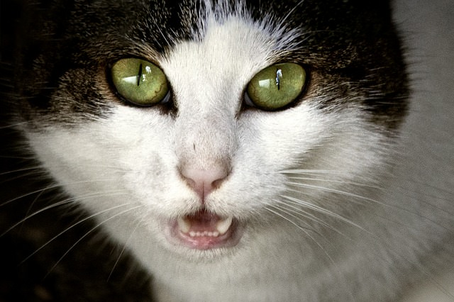 How To Understand Your Cat's Meow Cat meowing at night