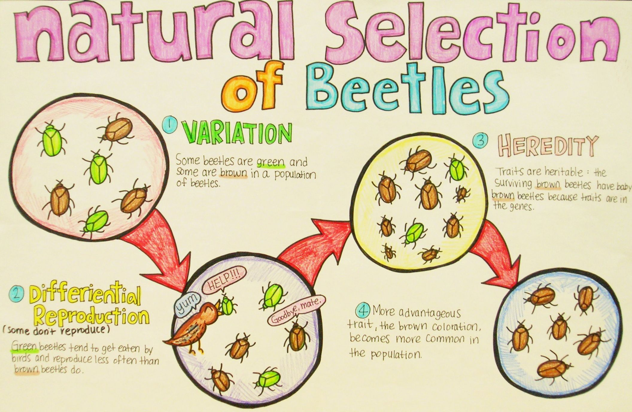 Natural Selection Example 9th Grade Science Poster Photo