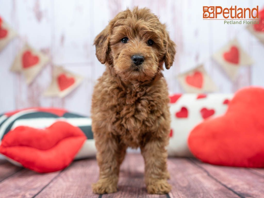 Puppies For Sale In 2020 Goldendoodle Puppy For Sale Mini Goldendoodle Puppies Puppy Friends