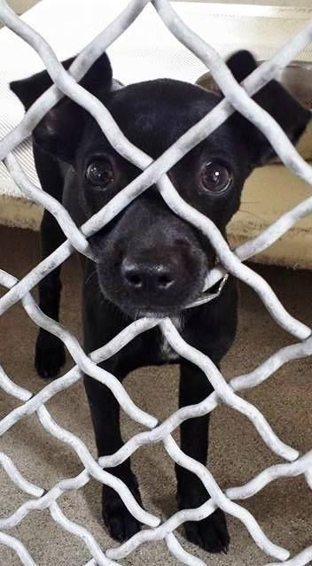 ADOPTED-- They don't get much cuter than this little one and she needs your help now. Please SHARE for her life, a FOSTER or Adopter would save her now. Thanks!  #A4850750 I'm an approx 2 month old female chihuahua  I have been at the Carson Animal Care Center since July 1, 2015. ,Gardenia CA