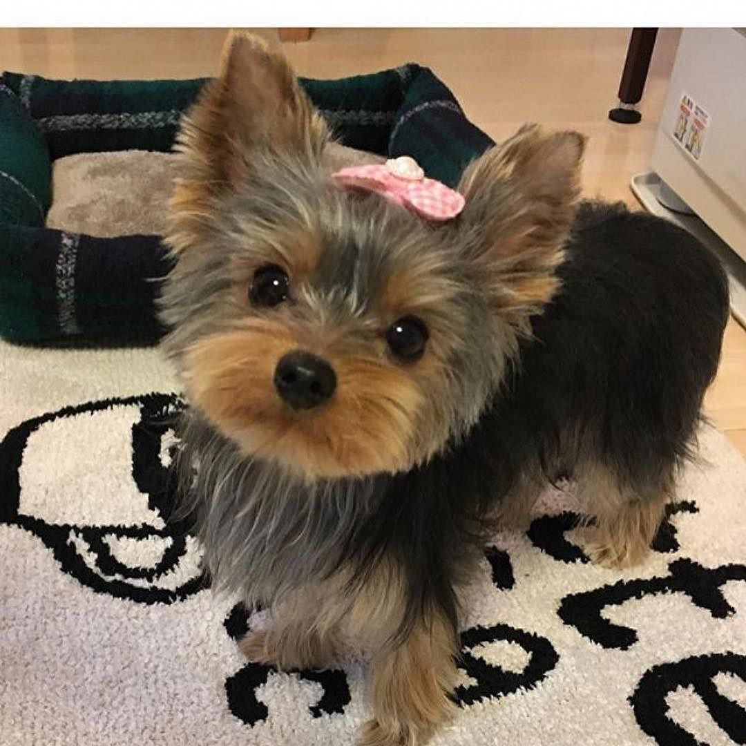 Everything About The Sprightly Yorkshire Terrier Puppy Personality