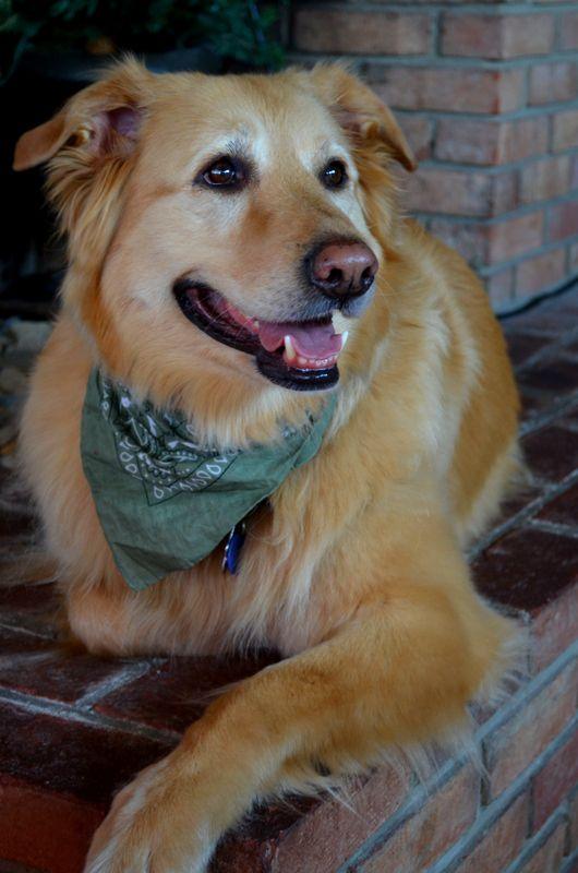 Sammie Jo Golden Retriever Retriever Dogs