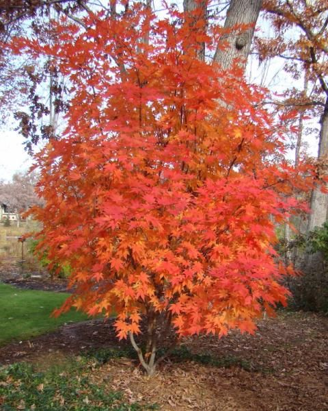 Landscape Lighting Mn: Front & Back Yard Plantings, Korean Maple, And Night