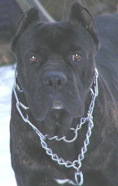 Pin By Kate On Dogs In 2020 With Images Cane Corso Dog Cane Corso Corso Dog