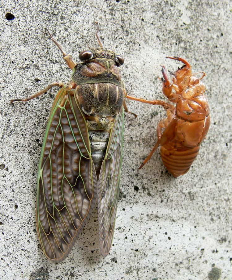 Large Brown Cicada Graptopsaltria Nigrofuscata 虫 写真 セミ