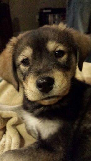 Nebraska Goberian Puppy Golden Retriever Siberian Husky Mix