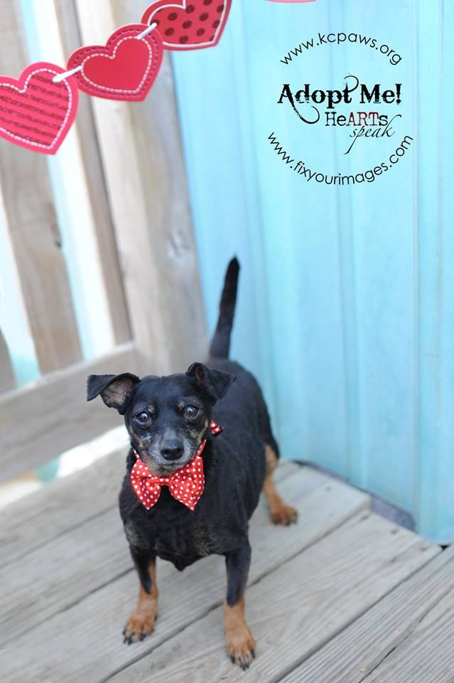 Doxie Pin Dog For Adoption In Richmond Mo Adn 514427 On