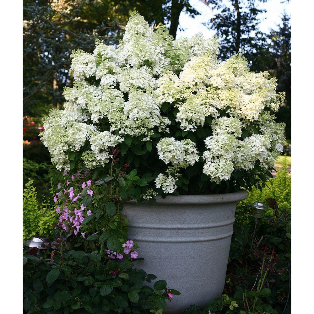 Hydrangea paniculata Bobo® Hydrangea garden, Small
