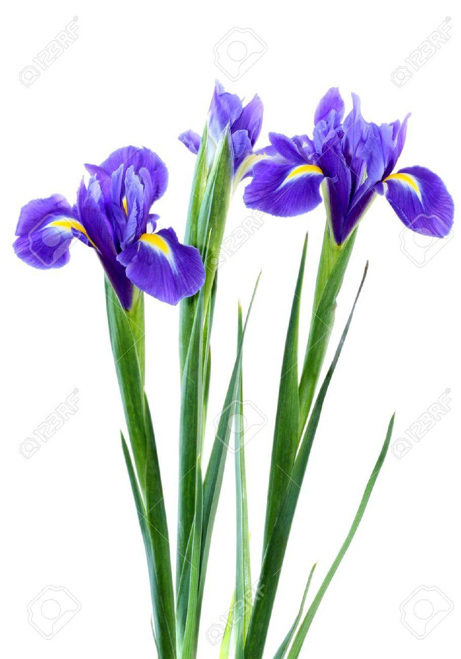 9548078 Beautiful Dark Purple Iris Flower Isolated On White