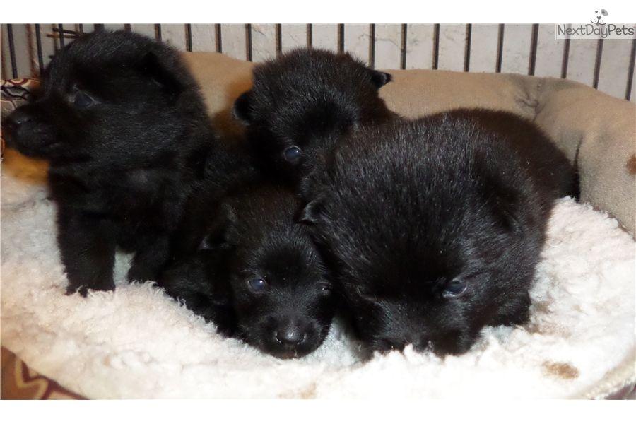 Schipperke Puppy For Sale Near San Diego California 6da3b1ec 5791