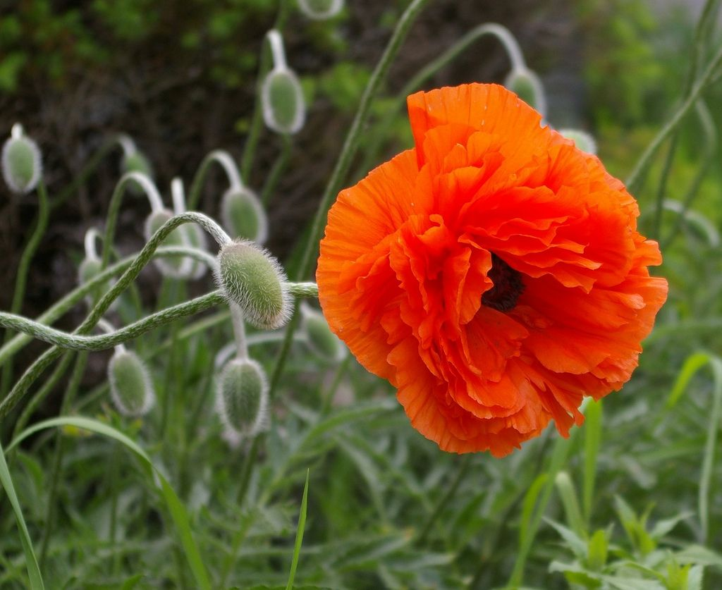 https://flic.kr/p/4SLL2m | poppies | a poppy with the poppy pod people