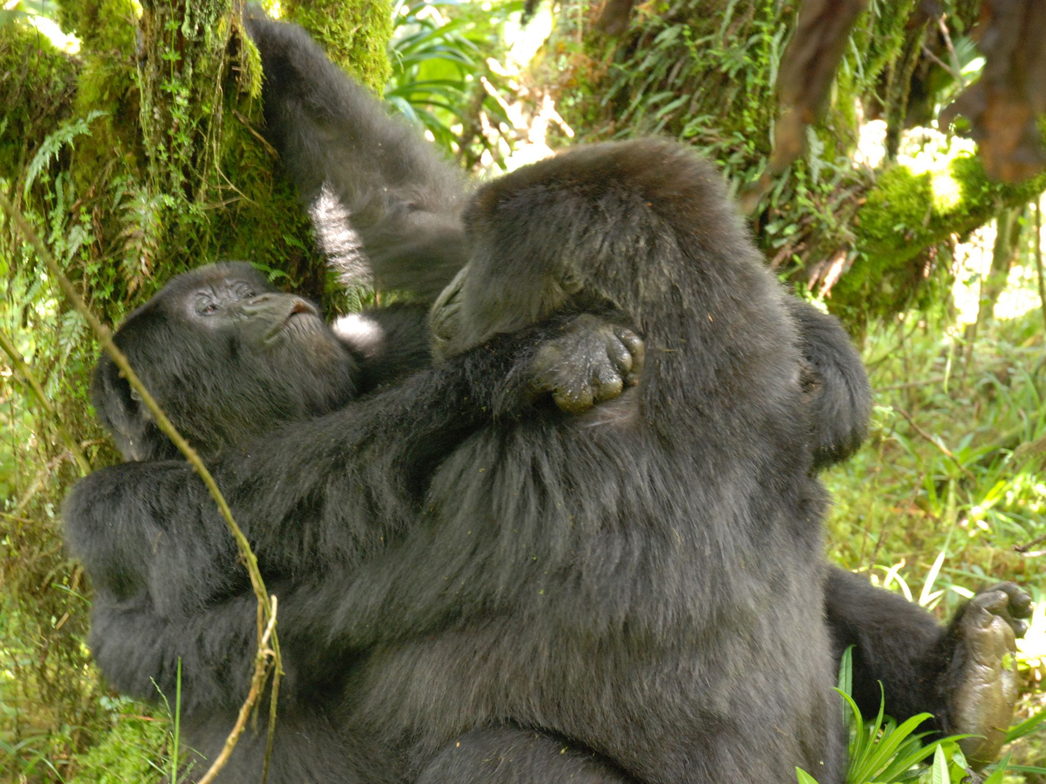 Gorillas Documented Having Lesbian Sex For The First Time -