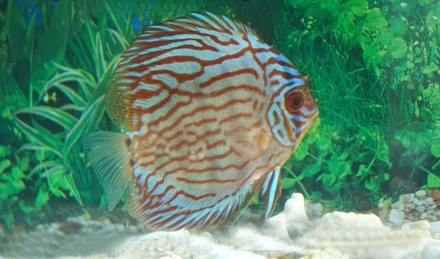 Red Turquoise Discus 3 5