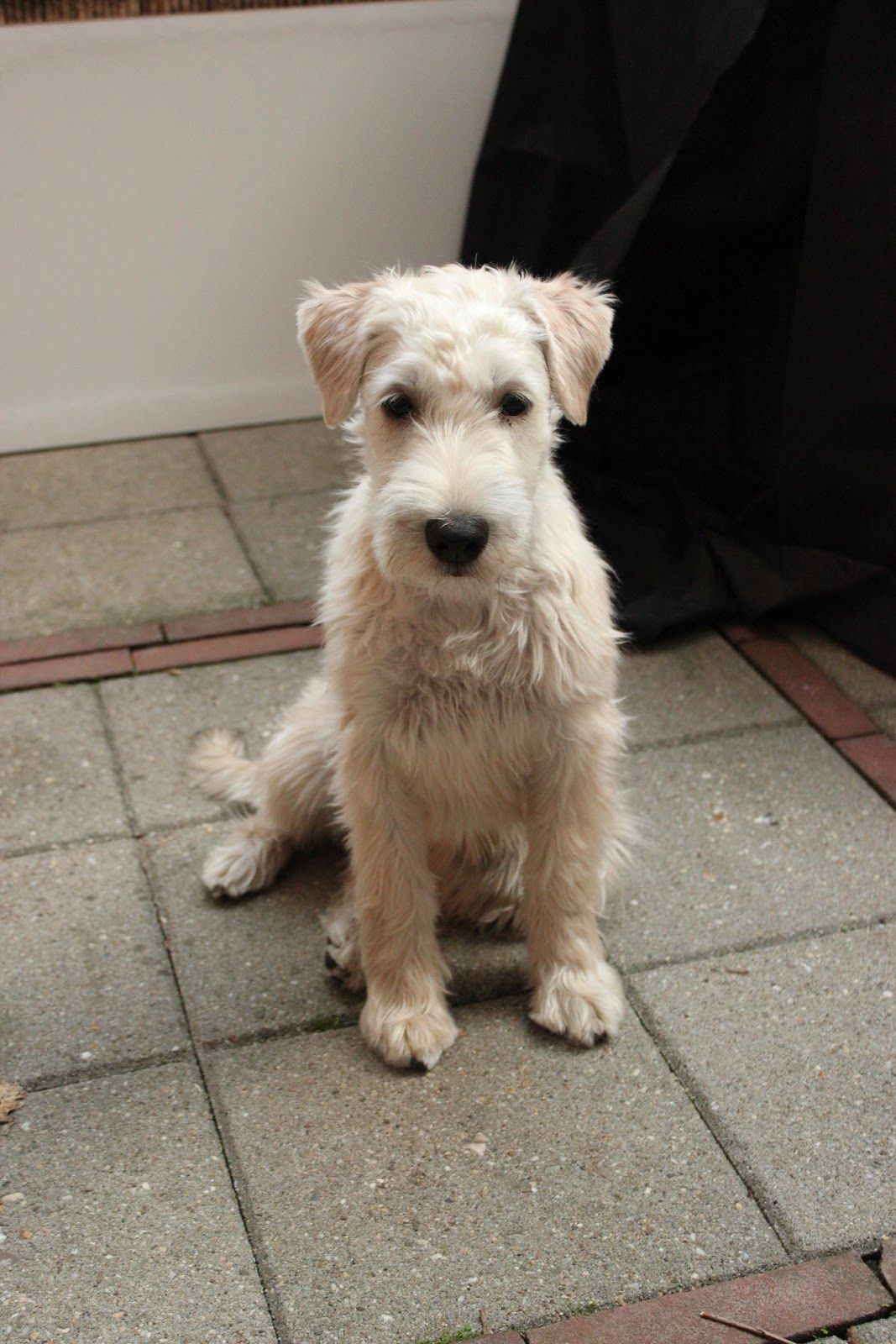 haircuts for wheaten terriers pin on schnoodle