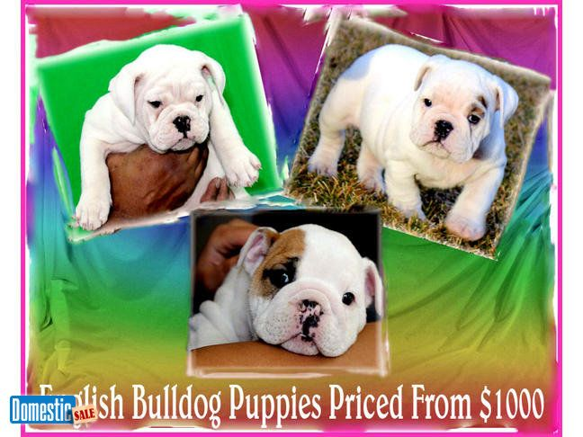 Lowest Price Purebred English Bulldog Puppies For Sale Lowest