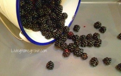 how to Freeze Wild Berries