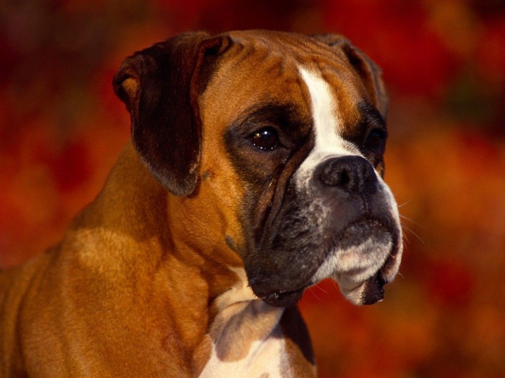 Boxer Dog Hd Wallpaper Boxer Dog Puppy Boxer Dogs Boxer Dog