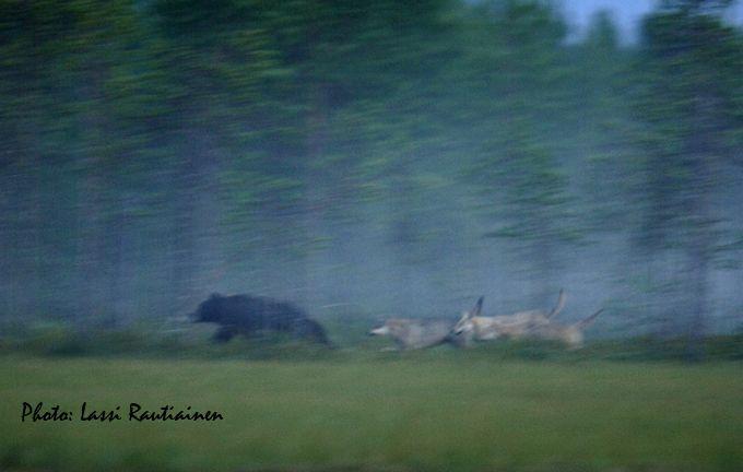 Articmedia - Wildlife Safaris in Finland