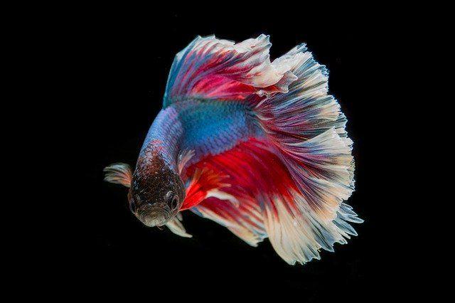 Free Image On Pixabay Fighting Fish Fish Three Color Fish Fish Illustration Betta Fish