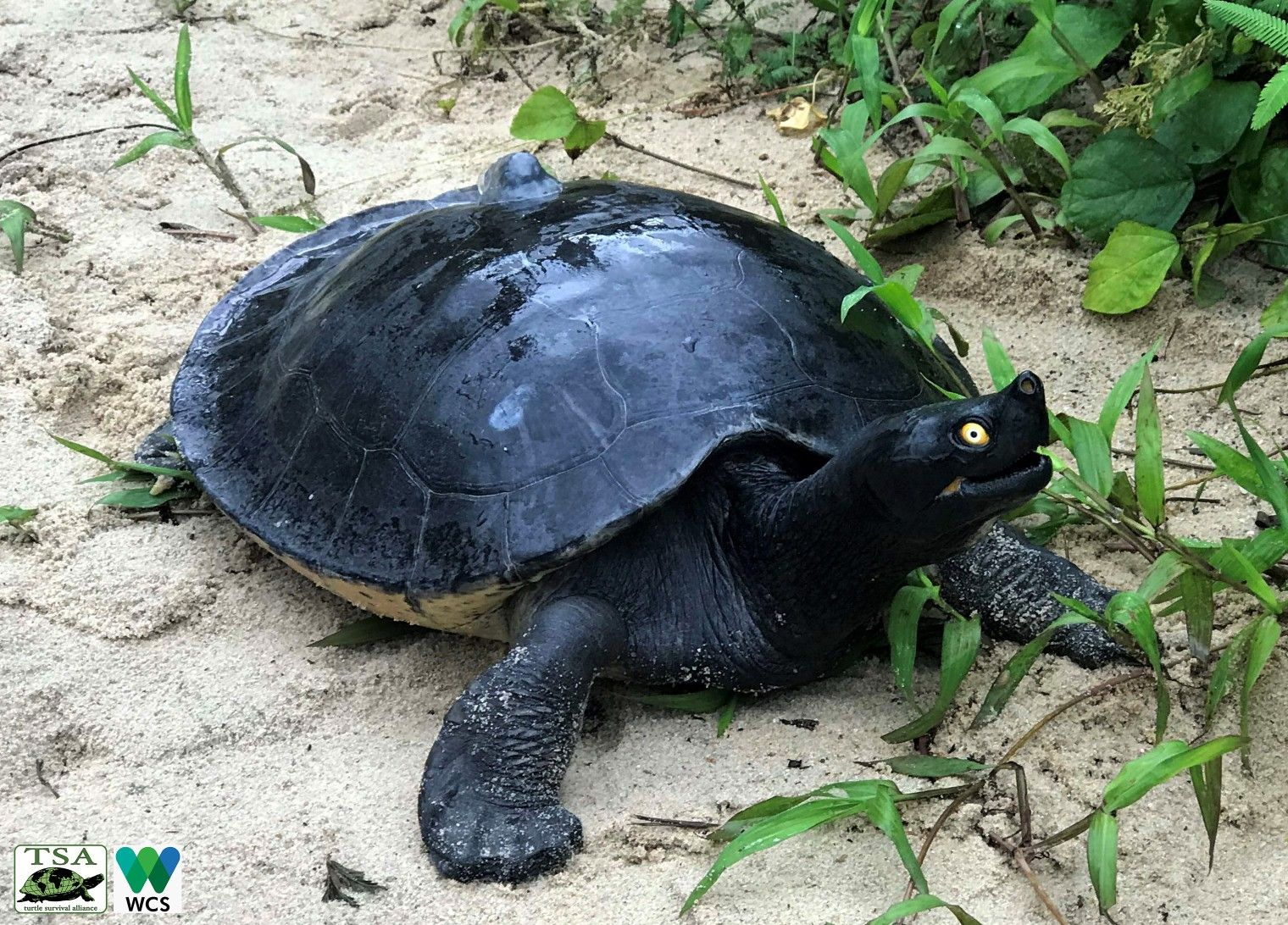 Southern River Terrapin Aquatic Turtles Tortoise Turtle